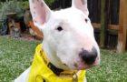 Charity Bull Terrier meet up to be held in Edinburgh